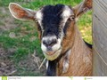 A close-up of a farmyard goat chewing a straw. #animal #photography #Dreamstime #photography