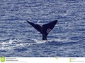 The tail of a sperm whale in the coastal waters off Dominica. The tail is raised as the whale begins a deep dive.