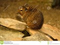 This is a Degu, also known as a bushy tail rat. It is a native of Chile. #animal…