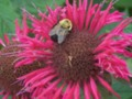 Pink beebalm flower attracts honey bees & hummingbirds
