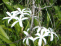 Day 29 Whte Swamp Lily Flowers in the Everglades