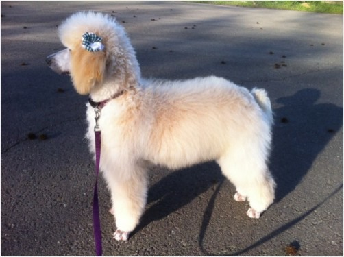 Cream or Apricot Standard Poodle in a Puppy CutApricot Standard Poodle Puppy Cut