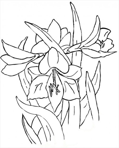 amaryllis coloring pages - photo#32