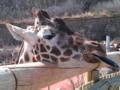 #Giraffe Sticking Out His #Tongue at The #Cheyenne Mountain #Zoo