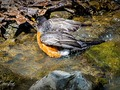 Robin Takes A Bath    #robin #springtime #northwoods #birds#critters #natureshots #chrislordnyc #pixielatedpixels #chrislord #creativeimagery #printsforsale #photoedits #everything_edited #travelingphotographer #travelthroughthelenses #nature_wizards #thegreatoutdoors #outdoorshoot #nature_wizards #thegreatoutdoors #outdoorshoot #ouranimalfriends #birdsofinstagram #birds_captures #quest_for_magic #birdslovers #artisty_lords #birds_adored — view on Instagram