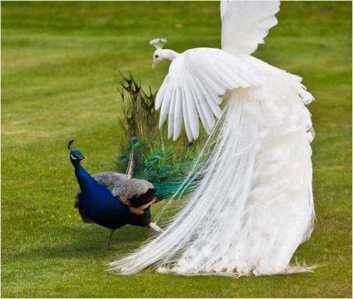 White Peacocks Rare Rare White Blue Peacocks