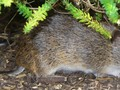 How southern brown bandicoots are making a comeback