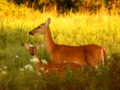 White Tail Doe and Fawn in Meadow