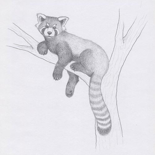 Drawing a red panda  RedGage