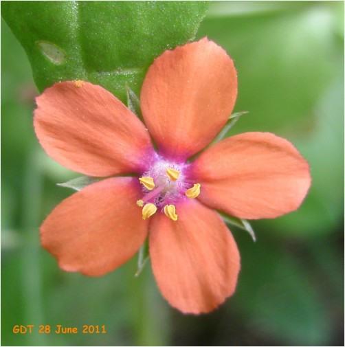Macro of Scarlet Pimpernel flower | RedGage